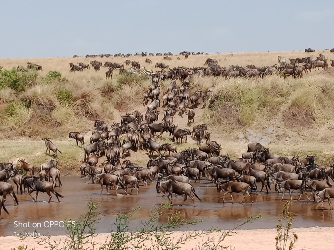 wildebeest-crossing-the-mara