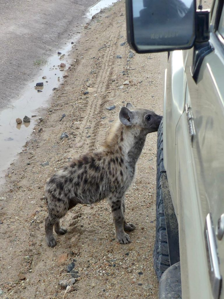 Young spotted Hyena at Amboseli National Park